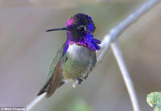 Kolibri jantan 'bernyanyi' dengan bulu ekor mereka dan melakukan penyelaman berkecepatan tinggi untuk merayu calon pasangan