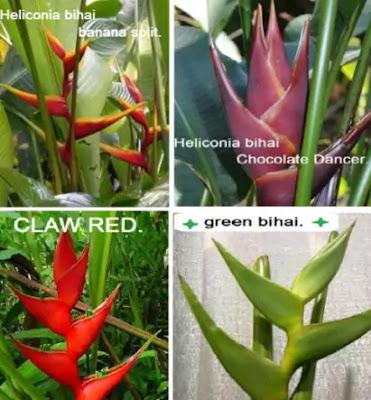 Heliconia bihai - types of heliconia