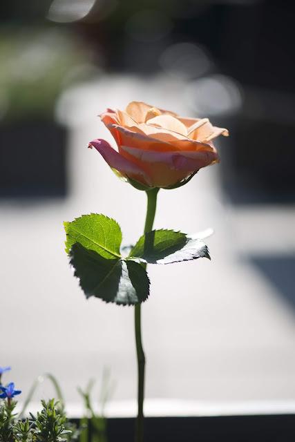 rose wallpaper HD