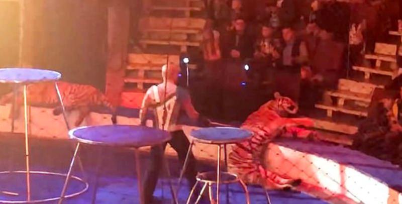 Tigre colapsou em circos