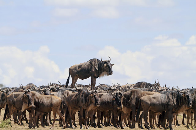 """Highly Commended Wildlife Comedy Photo Competition by Jean Jacques dengan judul """"Animal Encounter"""""""