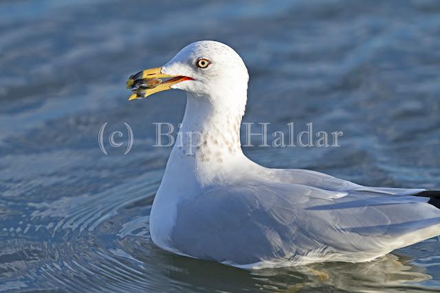 Sea Gull caught a snail