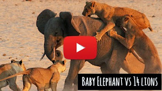 Watch how this brave Baby Elephant Hercules defended himself against the vicious attack of group of 14 lions at a safari camp in Zambia via geniushowto.blogspot.com wildlife viral videos