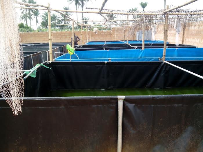 Broodstock management and care in fish farming kingsway for Tarpaulin fish pond