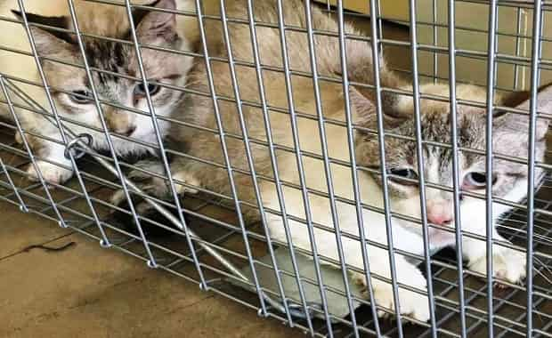 Female Dies & Leaves 47 Cats Decaying, Rescuers Can Not Take A Breath When They Go Into Residence