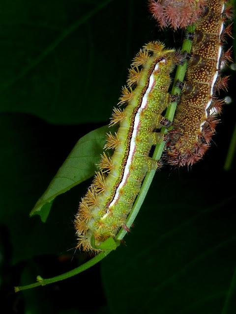 Automeris melmon caterpillar