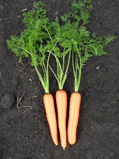 Плоды моркови очень красивы