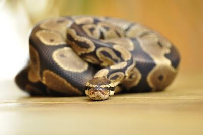 jenis reptil Ball Python