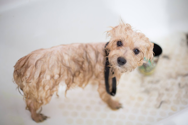 How to remove fleas from dogs