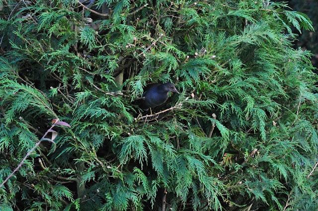 Moorhen in conifer, © P J Alker