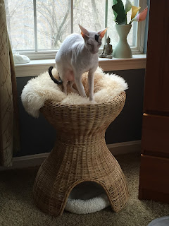 Rollo the Cornish Rex kneading