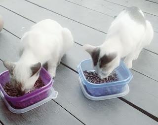 Makanan dan Minuman Sehat Kucing Kampung