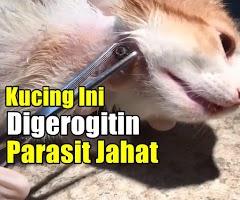 Merinding Parasit Besar Dikeluarkan Dari Tubuh Kucing Ini