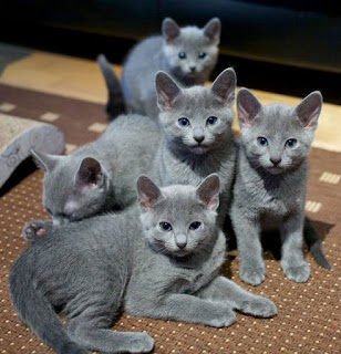 Don't miss this amazing Russian Blue Cats
