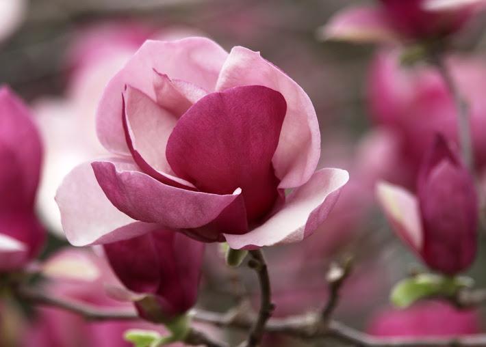 pink magnolia flower deep - photo #16