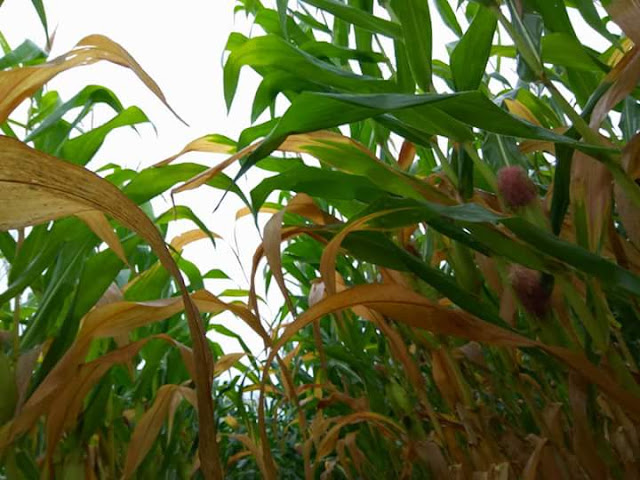 Daun jagung menguning kecokelatan karena gejala nekrosis dan klorosis