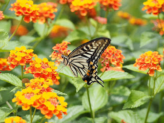 A swallowtail butterfly feeding from orange and yellow lantana blooms.