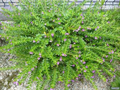 小さな紫の花