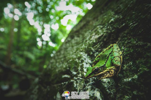 Green frog at FRIM Kepong