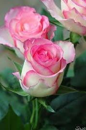 Gambar Bunga Mawar Fourwedhe