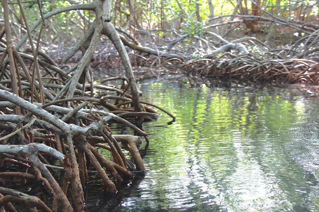 Um passeio de canoa entre túneis de mangue nas lagunas da Isla Grande, no Caribe Colombiano.
