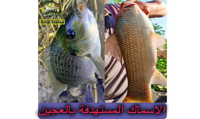 الاسماك المستهدفة بالعجين
