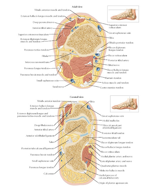 Cross-Sectional Anatomy of Ankle and Foot Anatomy