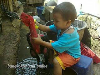 Mengatasi ayam aduan liar atau giras