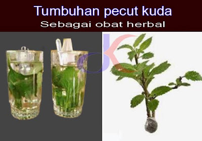 Tumbuhan pecut kuda - Sebagai obat herbal