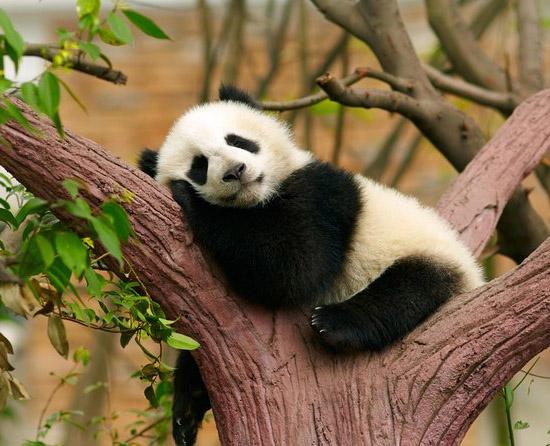 Pandas Gigantes não estão mais ameaçados de extinção afirma China - Img