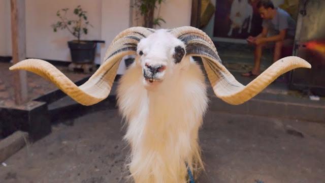 Foto Gambar Domba Jantan
