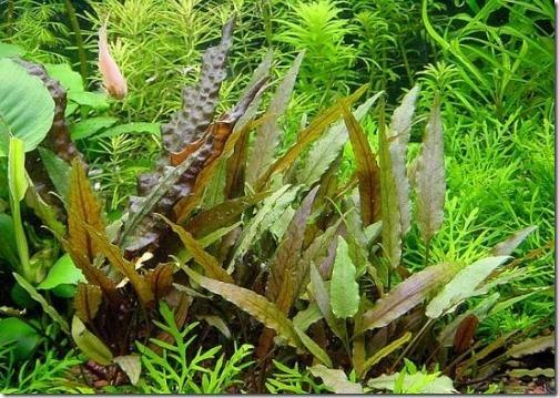 Cây tiêu thảo nâu có một vẻ đẹp rất riêng trong hồ thủy sinh