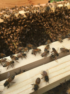 installing caniolan bees