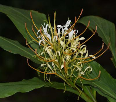 ต้นมหาหงส์ โกเมษ (โกเมศ) ขิงแห้ง Hedychium gomezianum