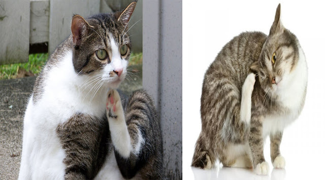 Coat and skin disorders in cats