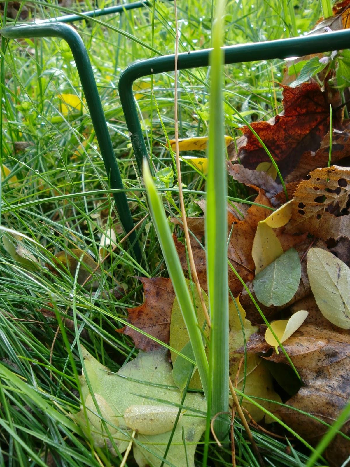 im Garten hat jedoch Frühlingsiris schon wieder aus rieben