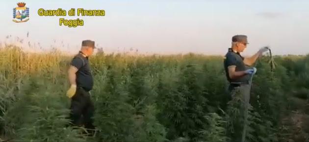 Guardia di Finanza di Foggia: sequestra 300 piante di cannabis in agro di Lesina