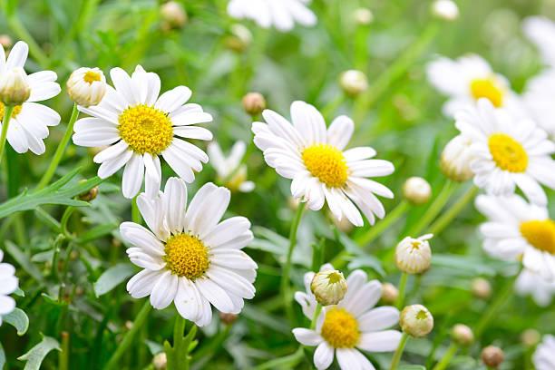 Bài thuốc đông y làm trắng da với hoa cúc
