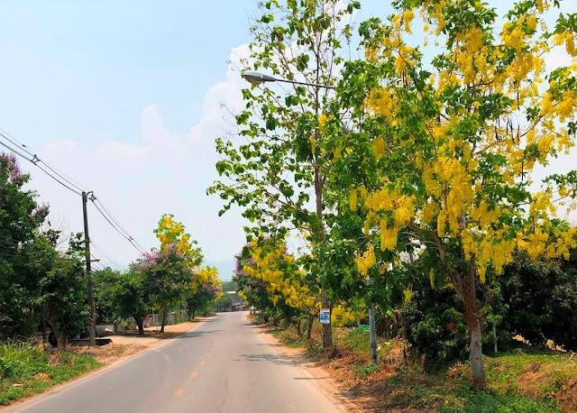 Cássia-imperial ou Chuva de Ouro (Golden Shower Tree)