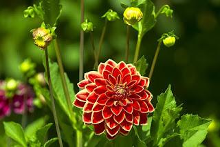 Gambar background Bunga Dahlia