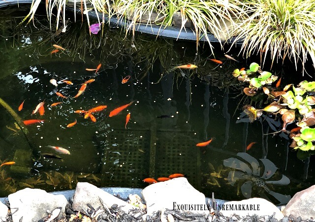 Pond with clear water and swimming goldfish