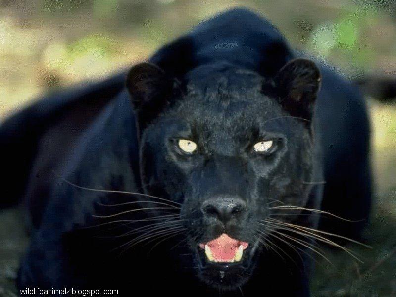 Newborn Panther Cubs
