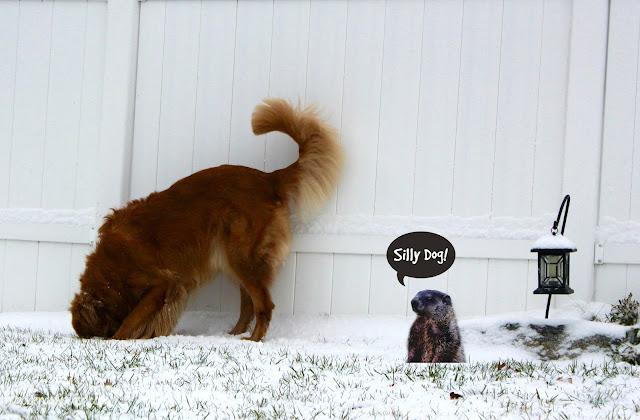 golden retriever dog looking in groundhog hole