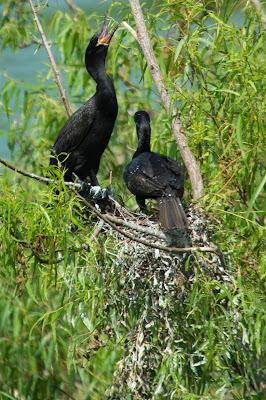 Double-Crested Cormorants, Smith Oaks Rookery