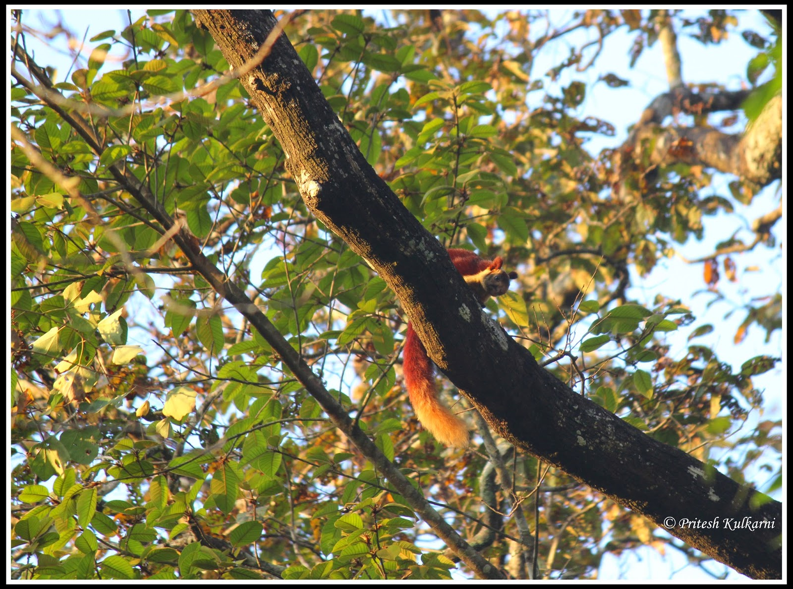 Malabar giant Squirrel at Bhadra