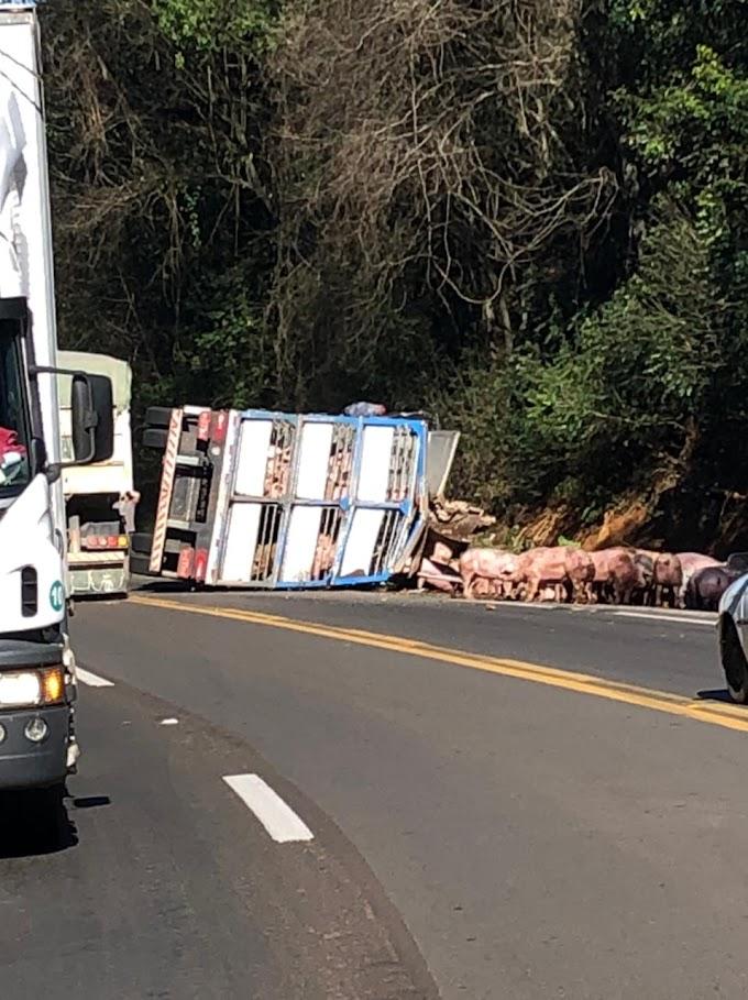 Duas pessoas são presas após saquearem carga de porco tombada na BR 277 em Cantagalo
