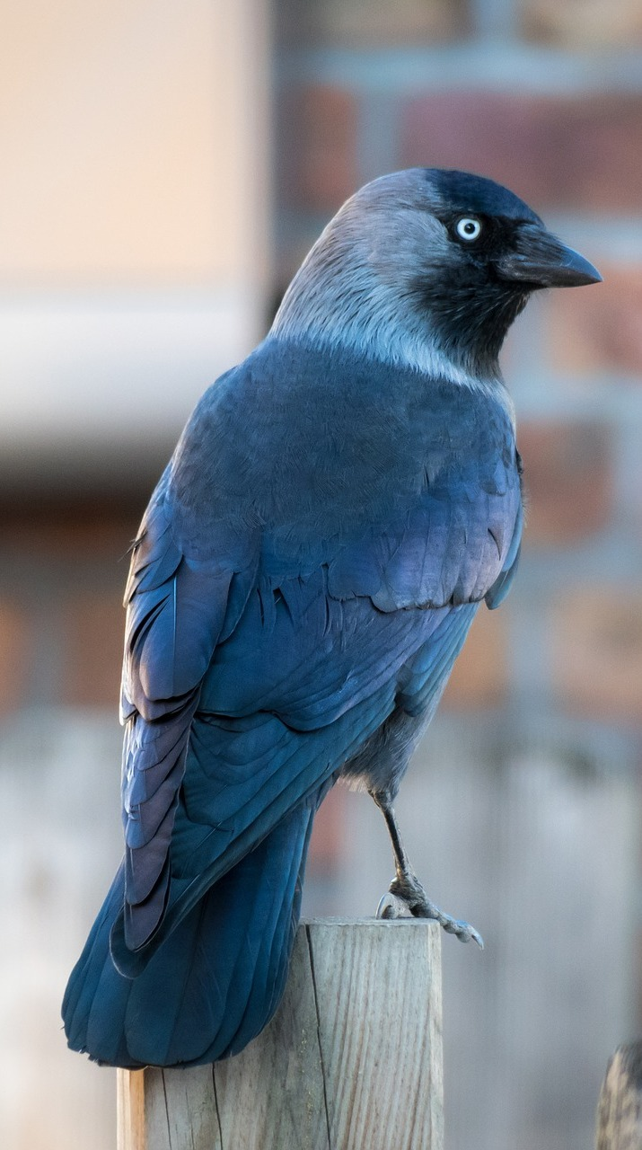 A beautiful photo of a jackdaw.