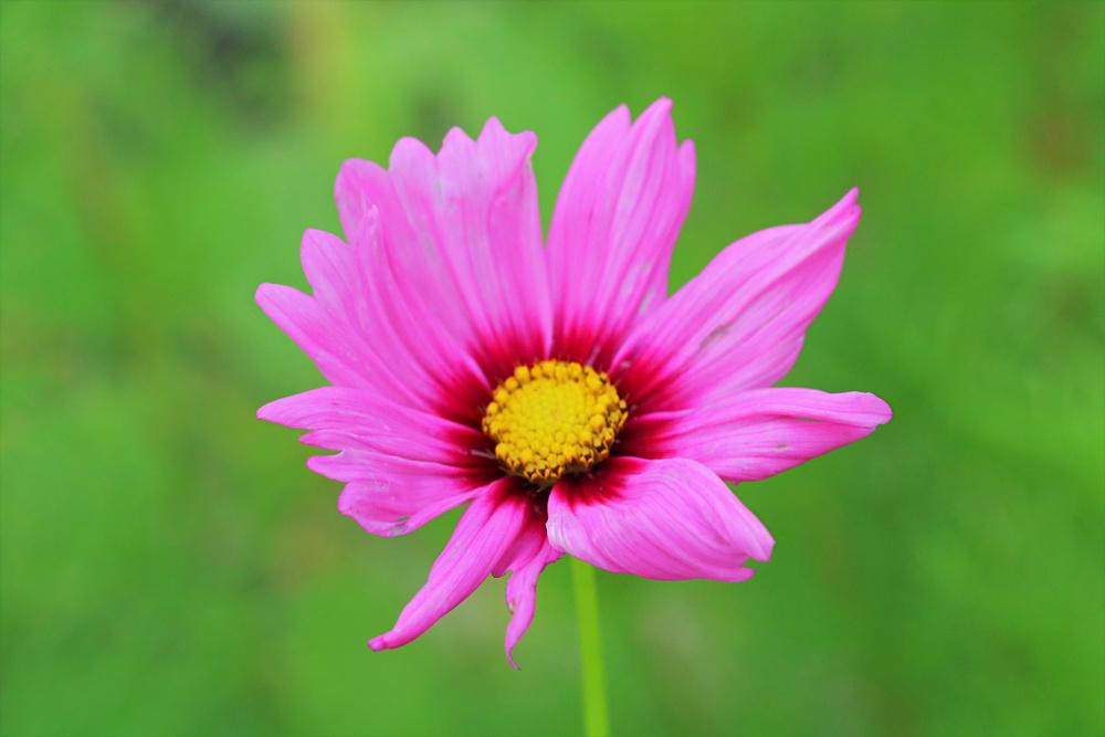 pink-cosmos-august-garden-favorite-flowers-athomewithjemma