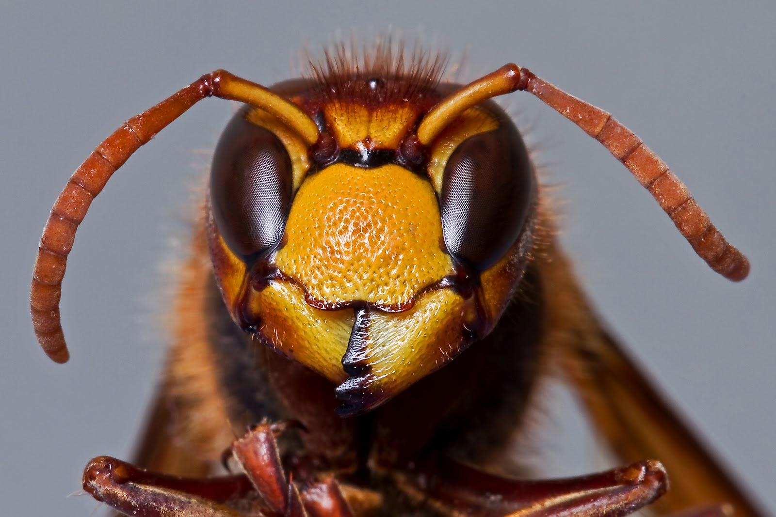 was zieht hornissen an