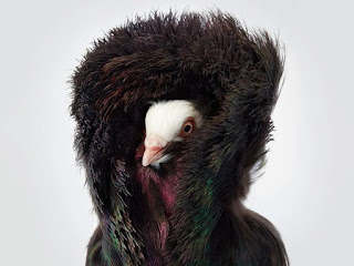 merpati atau dara dengan bulu bulu jaket